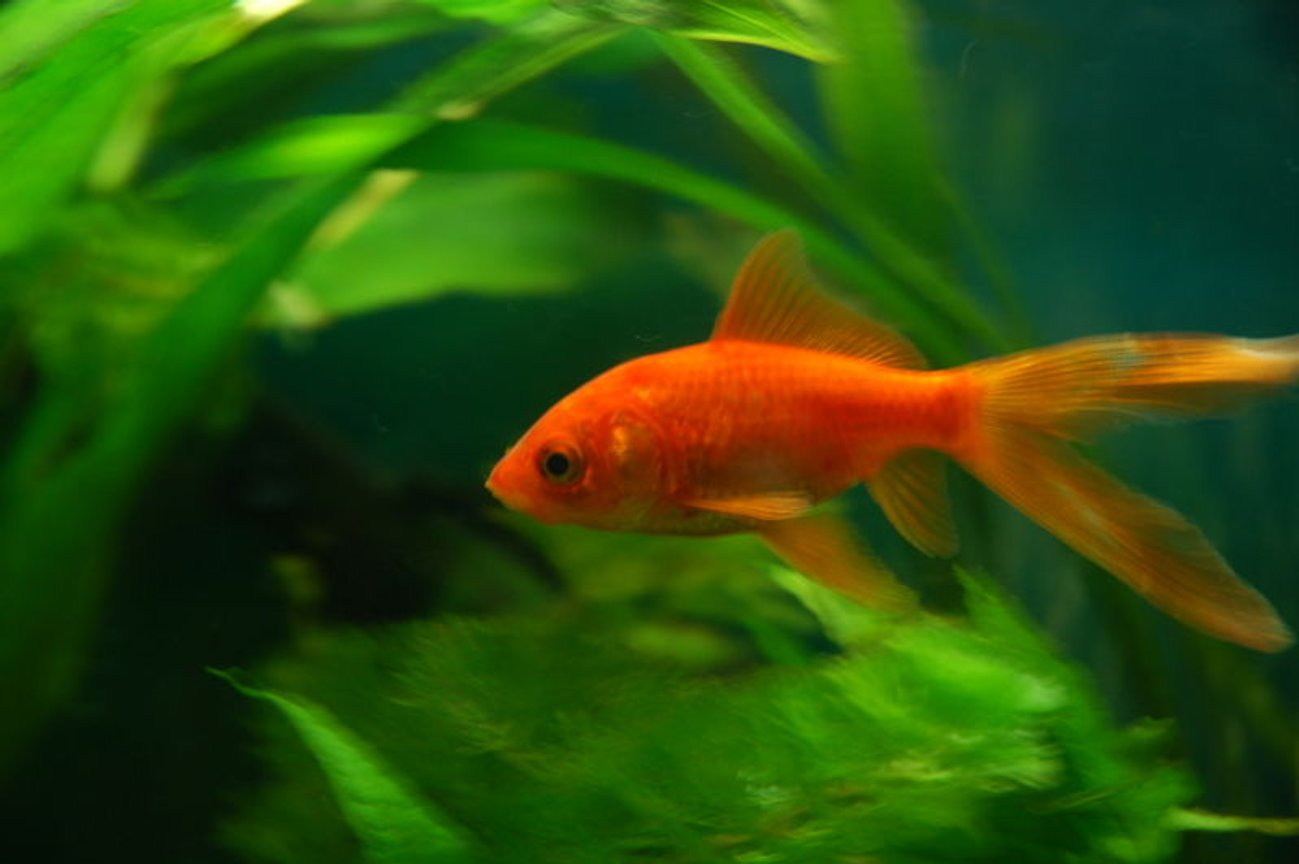 freshwater fish - carassius auratus - goldfish stocking in 11 gallons tank - My Common Goldfish, Howard