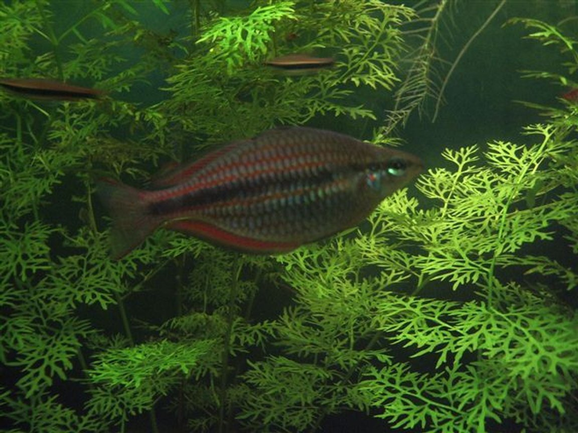 freshwater fish - glossolepis incisis - red irian rainbow stocking in 130 gallons tank - Red Rainbow Fish (juvenile)