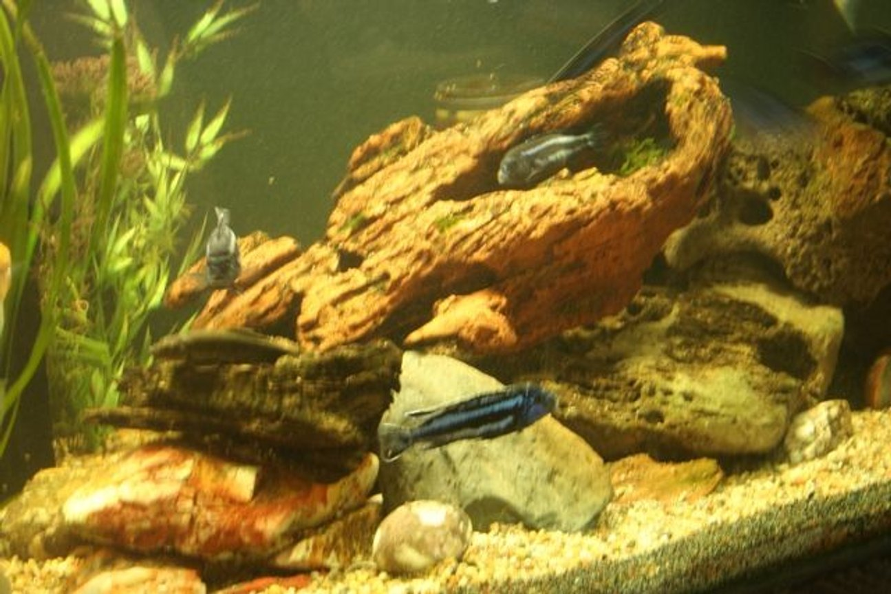 freshwater fish - melanochromis cyaneorhabdos - maingano cichlid stocking in 250 gallons tank - side view