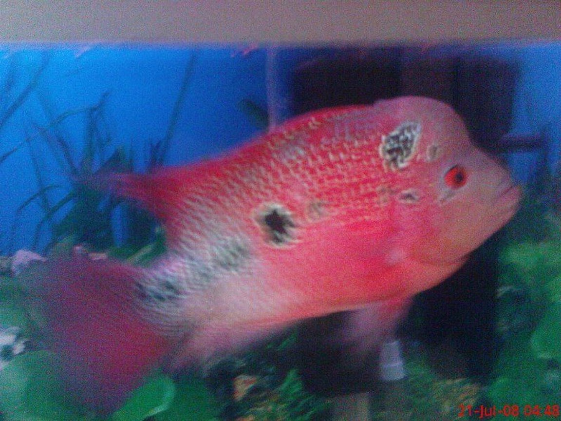 freshwater fish - cichlasoma sp. - flower horn cichlid stocking in 6 gallons tank - fh grownup :D