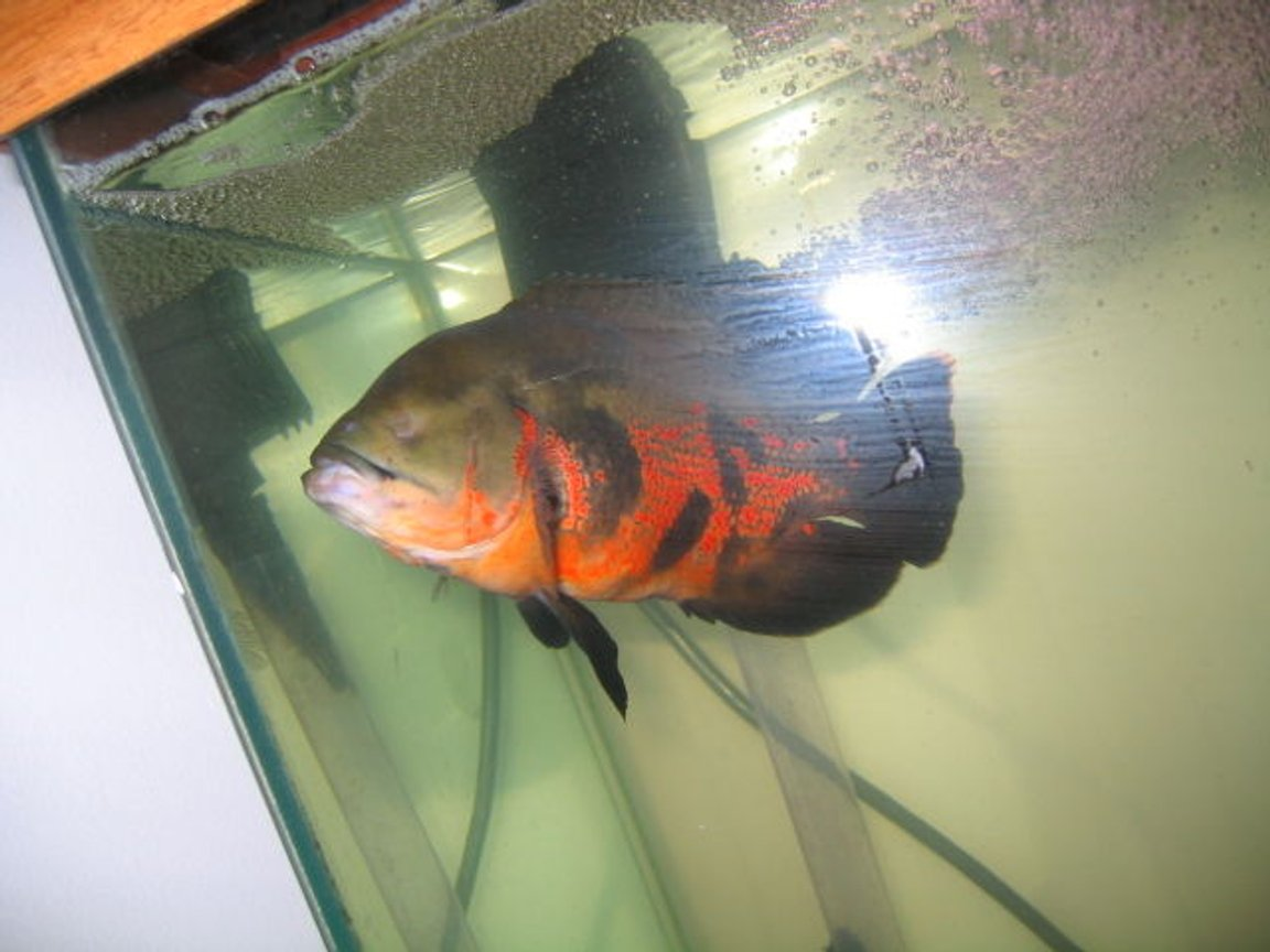 freshwater fish - astronotus ocellatus - red oscar stocking in 75 gallons tank - one-eyed captain jack; previous owner told me he used to fight a lot, but he's nothing like described