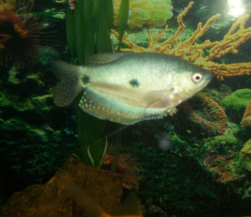 freshwater fish - trichogaster trichopterus - blue gourami stocking in 75 gallons tank - Here is a picture of my gourami. He is full grown, about 4.5 inches.