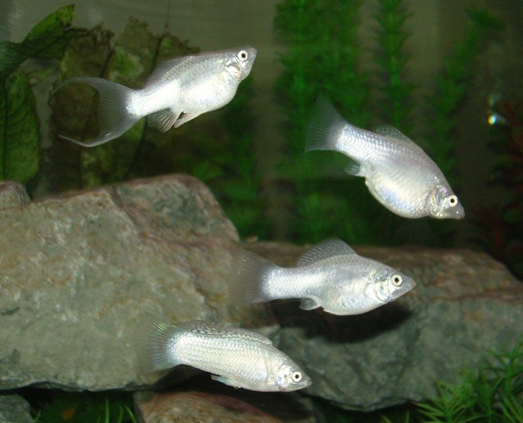 freshwater fish - poecilia velifera - platinum lyretail molly stocking in 75 gallons tank - Silver Molly Group