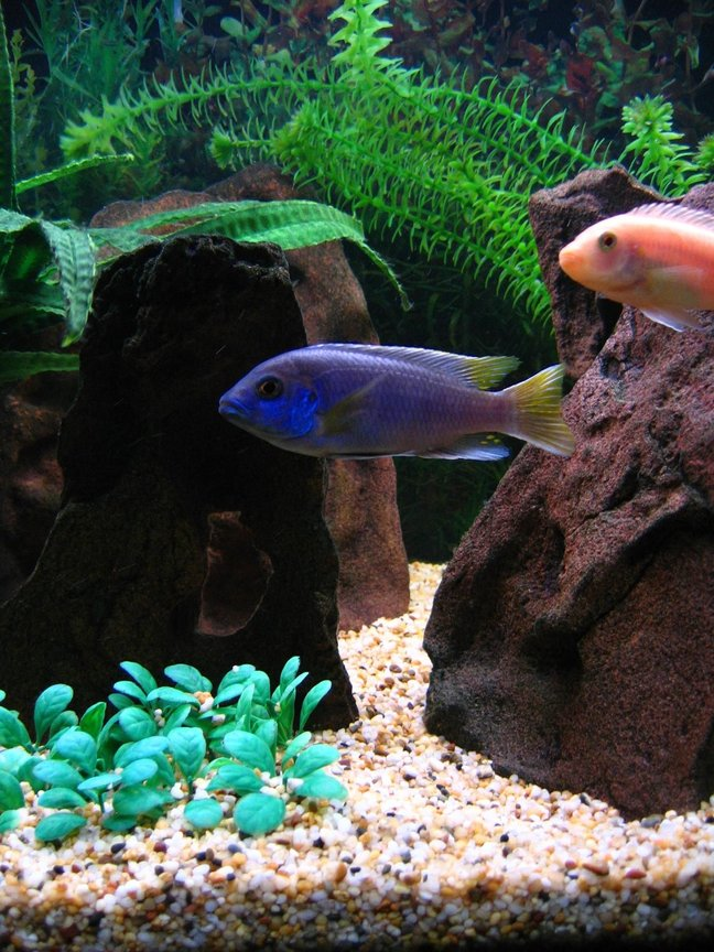 freshwater fish - pseudotropheus acei - acei cichlid stocking in 75 gallons tank - Acei with Red Zebra in the background.