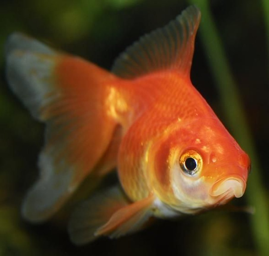 "freshwater fish - carassius auratus - fantail goldfish stocking in 55 gallons tank - 2"" Fantail Goldfish"