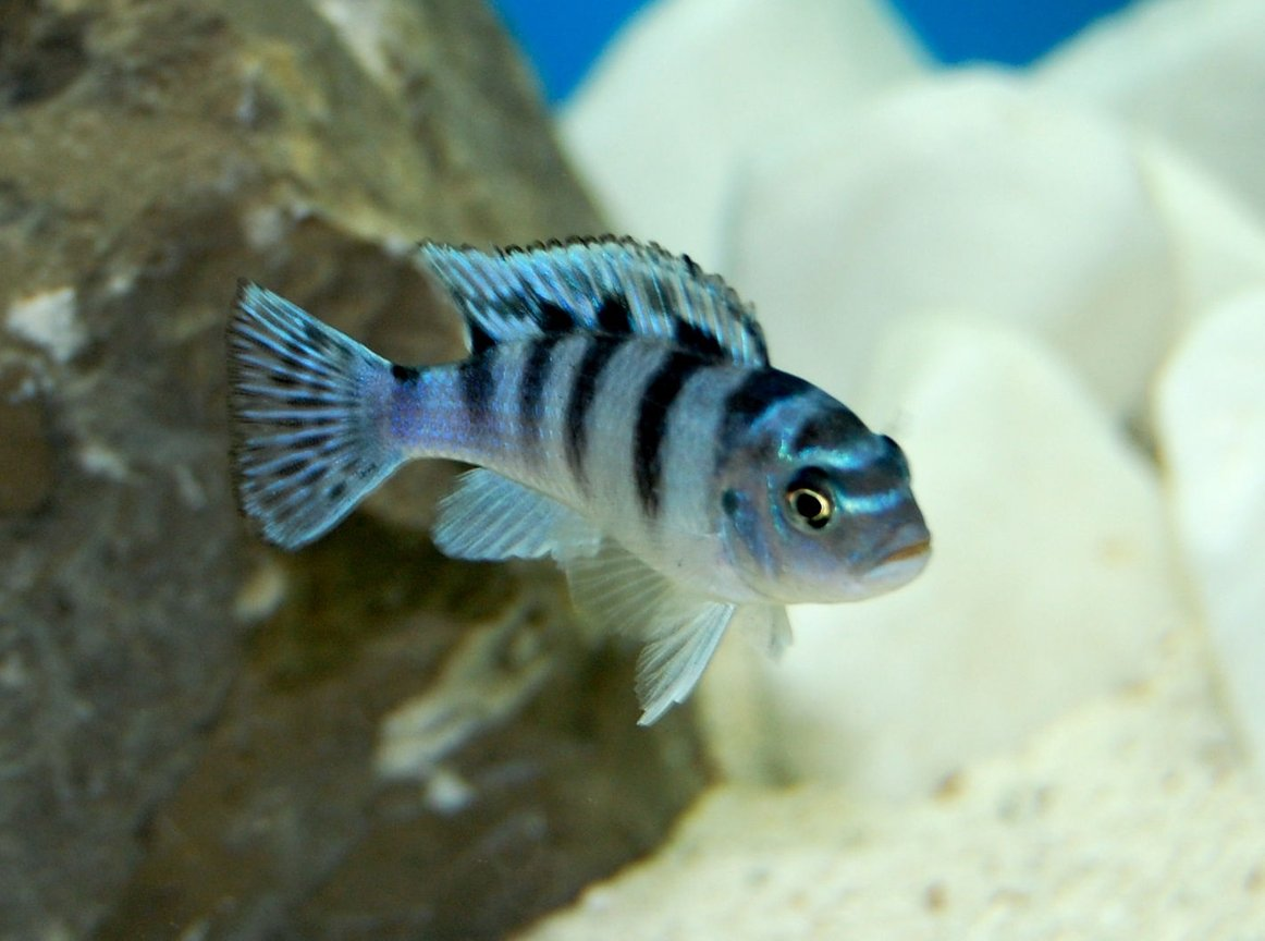 freshwater fish - metriaclima lombardoi - kenyi cichlid stocking in 55 gallons tank - African Cichlid