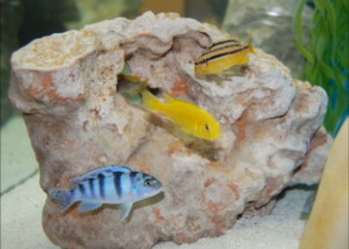 freshwater fish - melanochromis auratus - auratus cichlid stocking in 55 gallons tank - African Cichlid