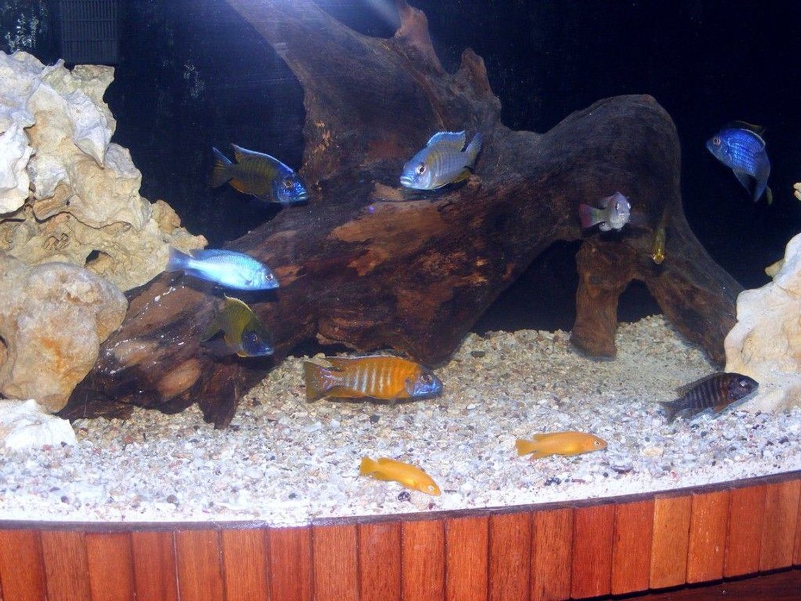 freshwater fish - cyrtocara moorii - blue dolphin cichlid stocking in 90 gallons tank - african cichlids mixed 90 gallons