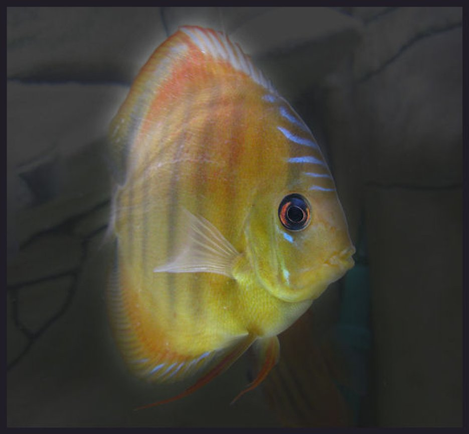 freshwater fish - discus santarem stocking in 127 gallons tank - Discus Santarem