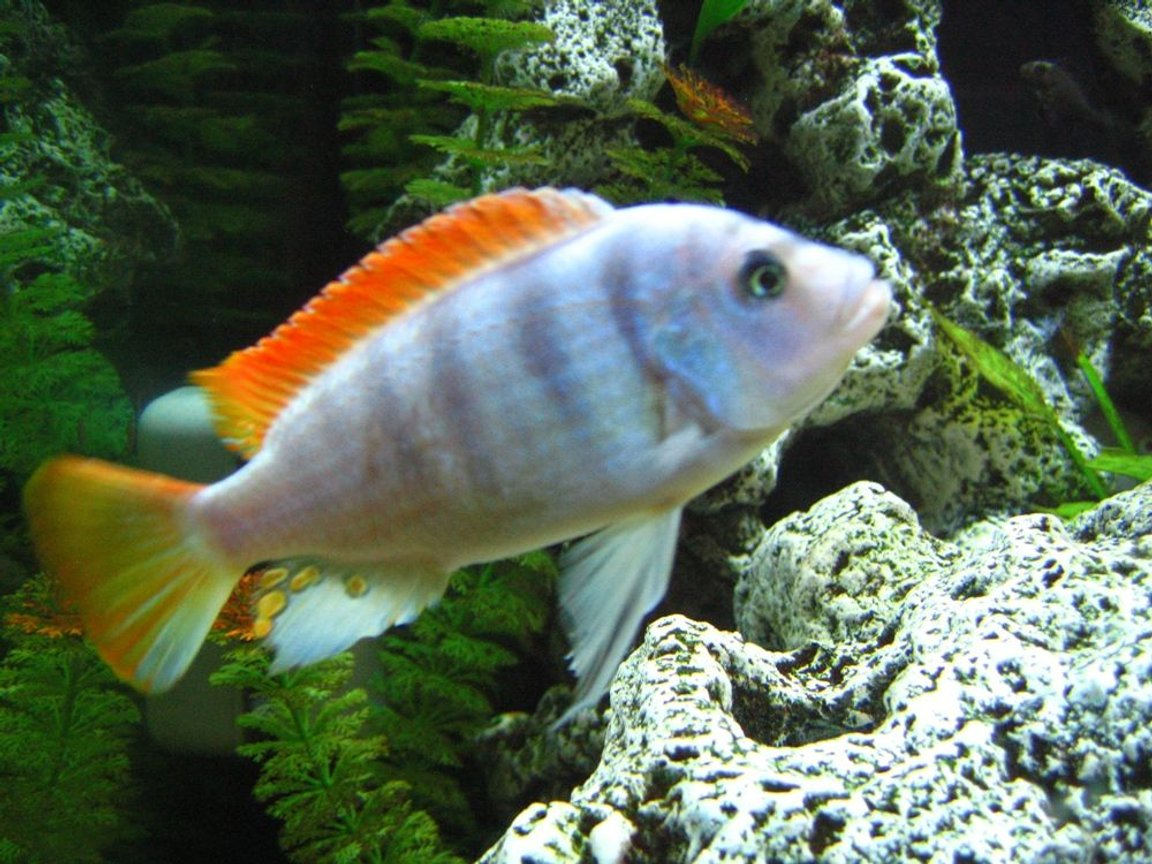 freshwater fish - metriaclima greshakei - ice blue red top zebra stocking in 125 gallons tank - ICE BLUE !!!