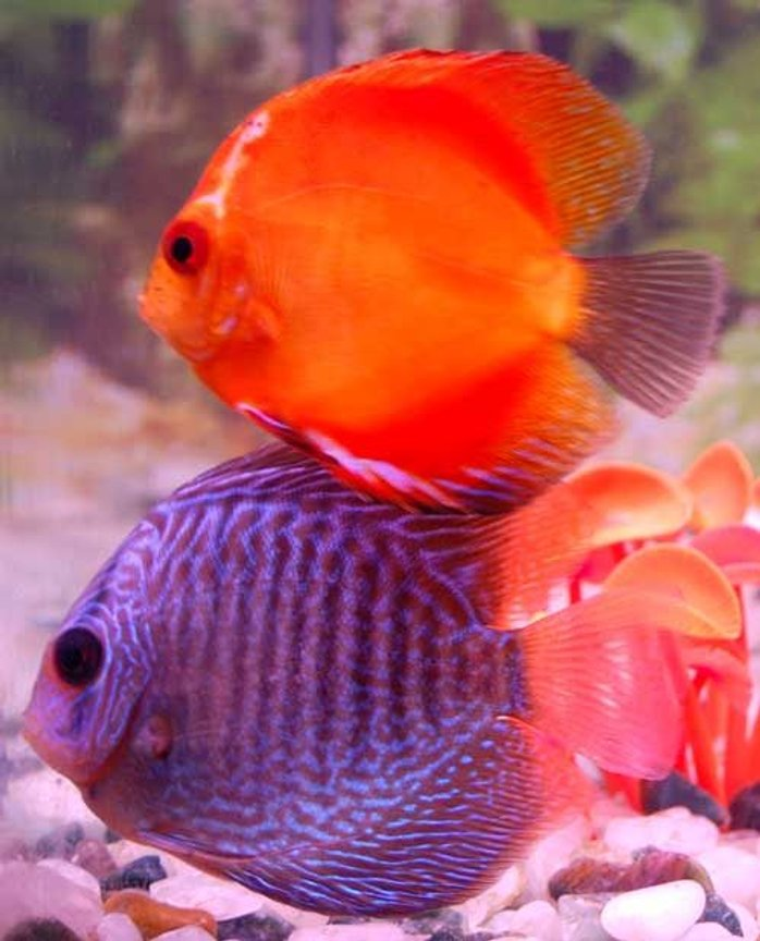 freshwater fish - symphysodon spp. - snakeskin discus stocking in 38 gallons tank - red melon n snakeskin playin