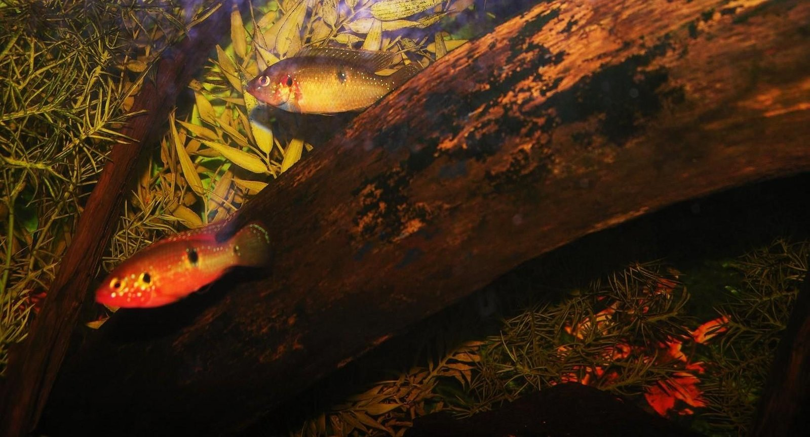 freshwater fish - hemichromis bimaculatus - jewel cichlid stocking in 120 gallons tank - jewels