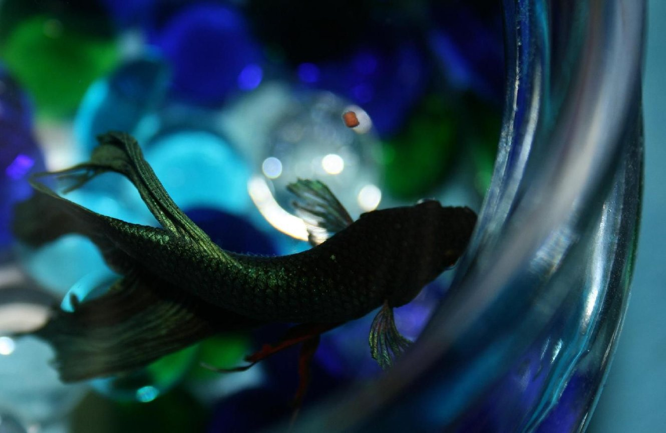 freshwater fish - betta splendens - betta - male stocking in 150 gallons tank - Betta Bowl Birds Eye View