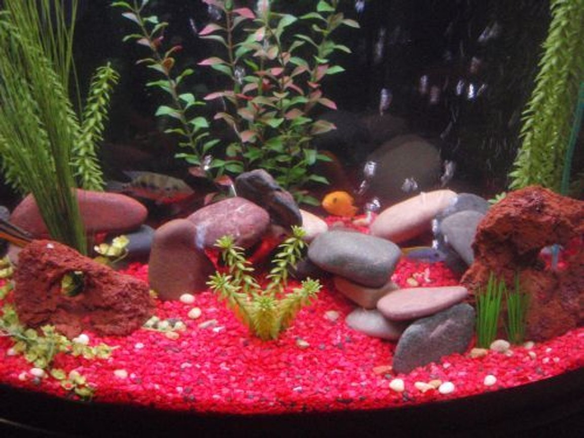 freshwater fish - pseudotropheus estherae - red zebra cichlid stocking in 29 gallons tank - 29g bow