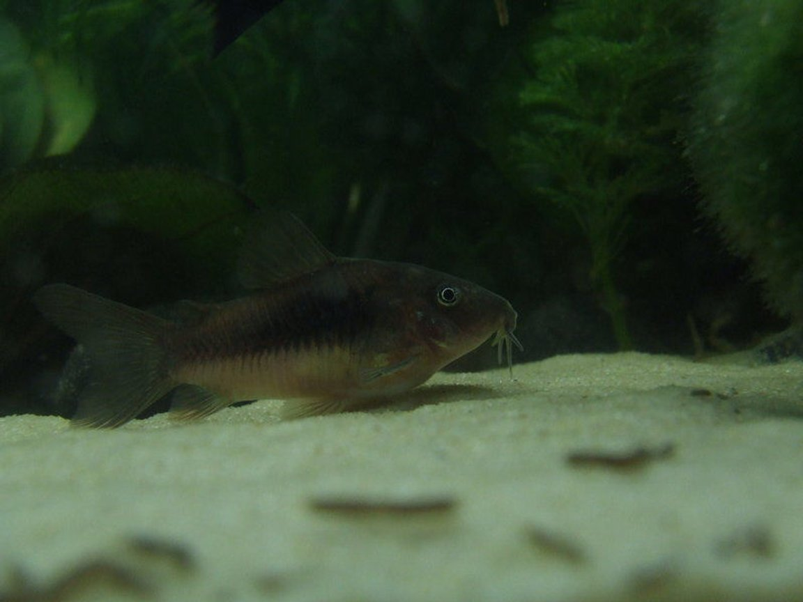 freshwater fish - corydoras aeneus - bronze cory stocking in 11 gallons tank - One of my three very healthy bronze corydoras !