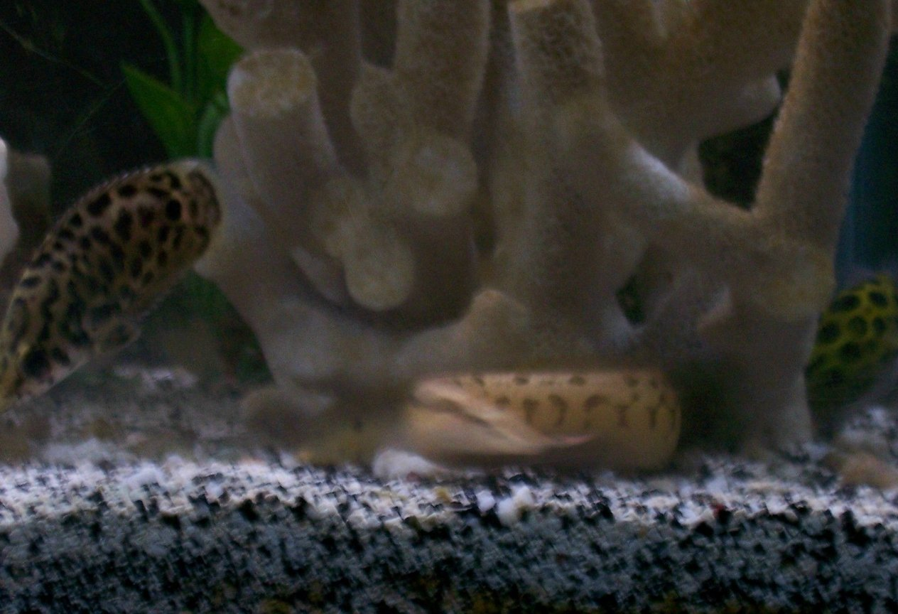 freshwater fish - ctenopoma acutirostre - leopard ctenopoma stocking in 30 gallons tank - tire track eel, leaf fish, and gsp in the background