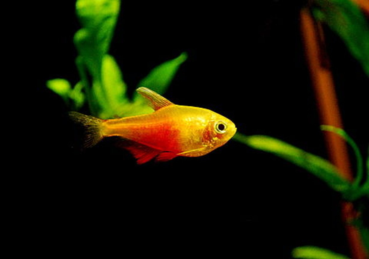 freshwater fish - hyphessobrycon fammeus - flame tetra stocking in 55 gallons tank - Orange Von Rio Tetra