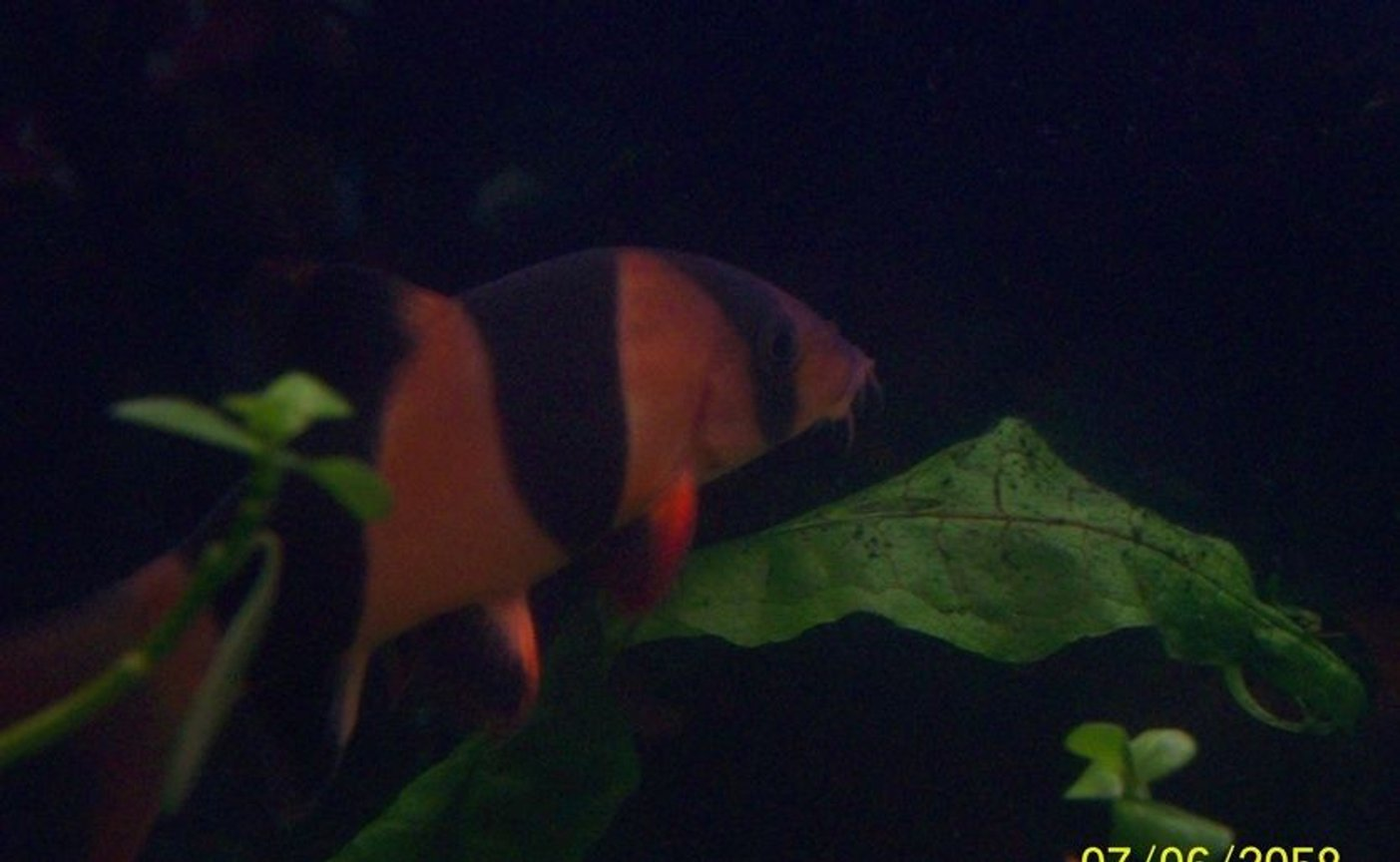 freshwater fish - botia macracantha - clown loach stocking in 55 gallons tank - One of My Clown Loaches