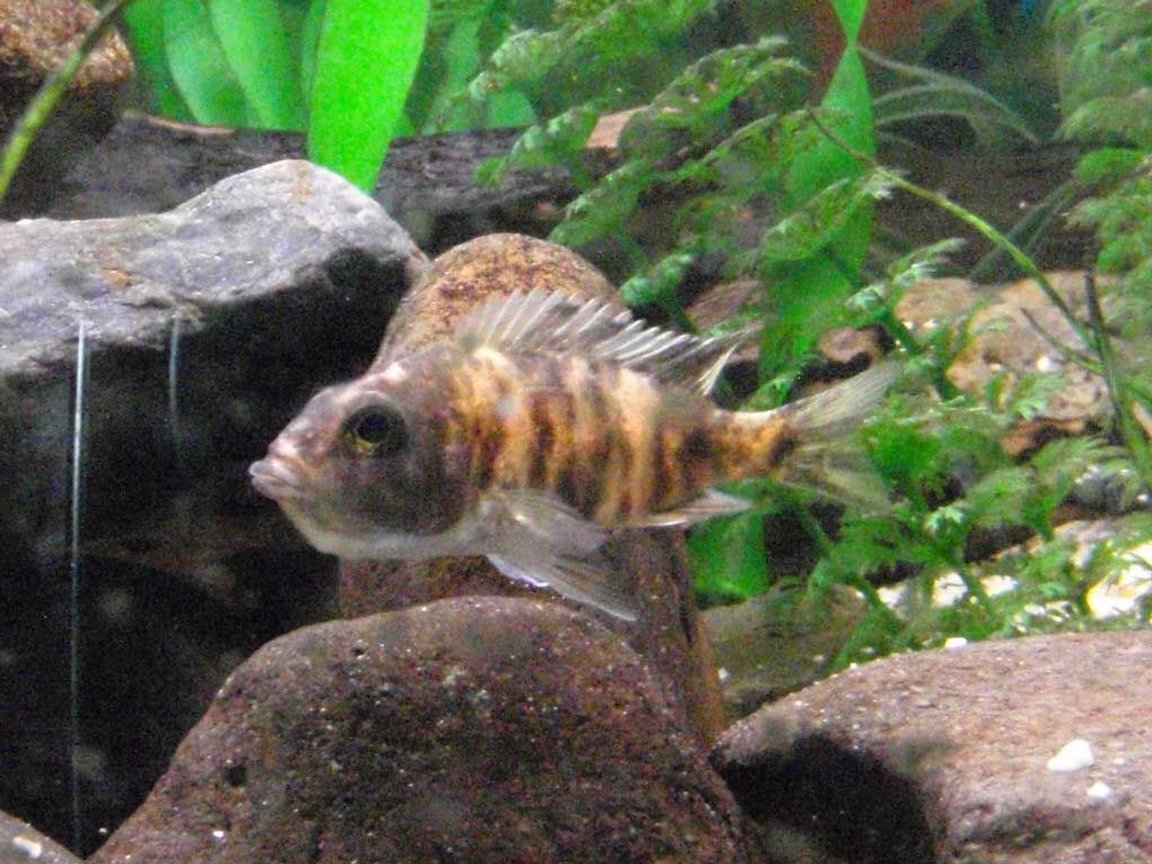 freshwater fish - aulonocara nyassae var. - peacock cichlid, orange blossom stocking in 90 gallons tank - African Cichlid holding her first batch