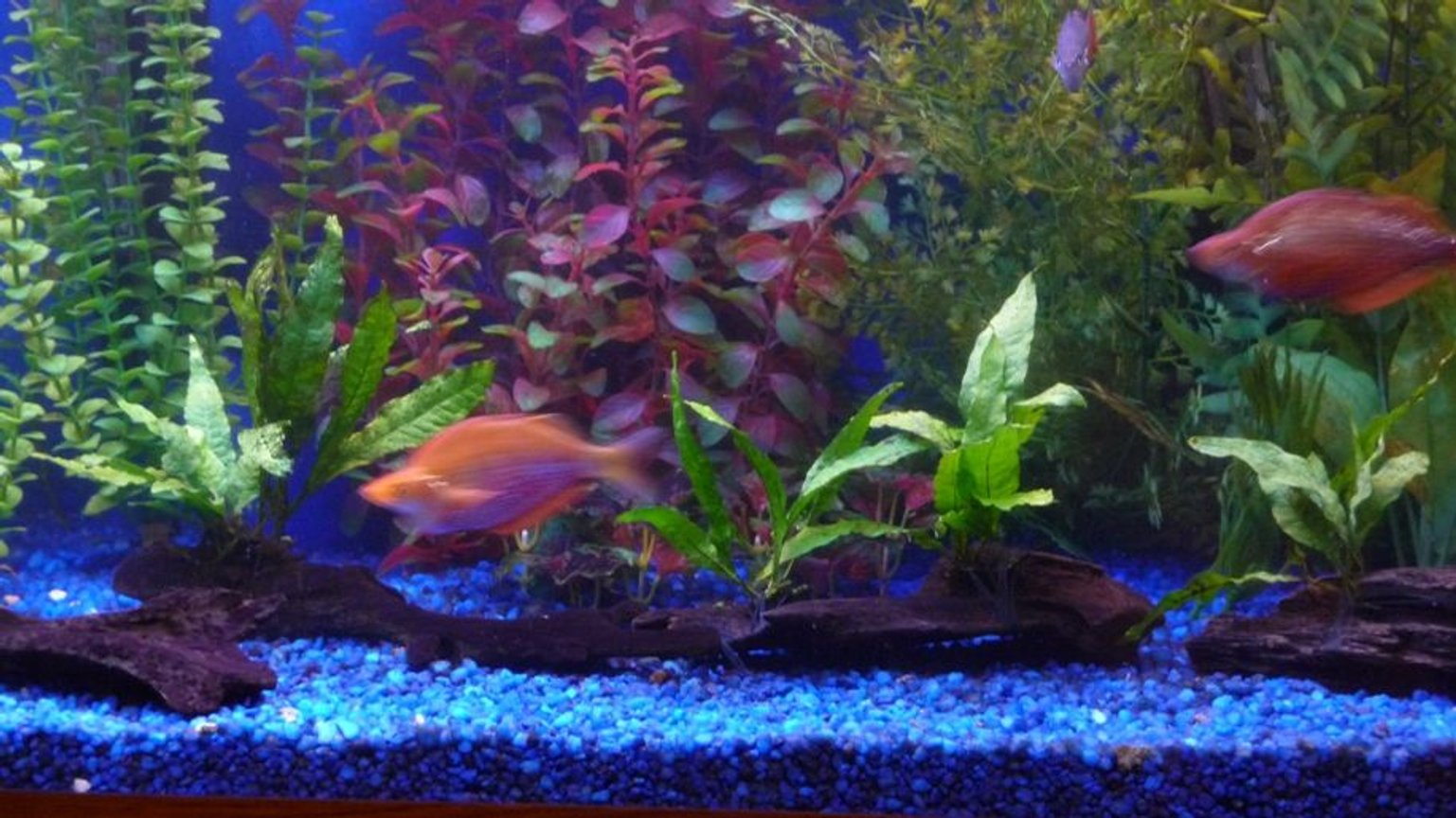 freshwater fish - glossolepis incisis - red irian rainbow stocking in 150 gallons tank - Red rainbow