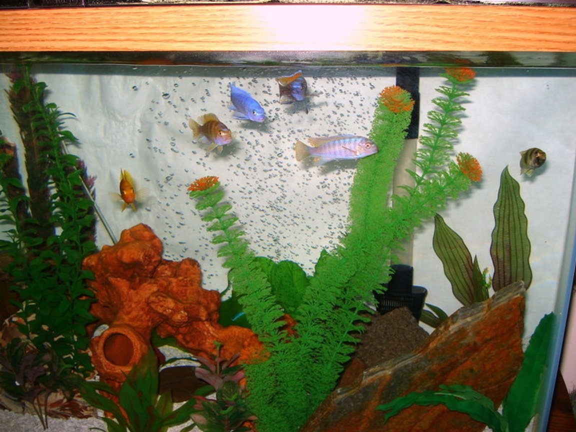 freshwater fish - sciaenochromis ahli - electric blue cichlid stocking in 46 gallons tank - They love feeding time.