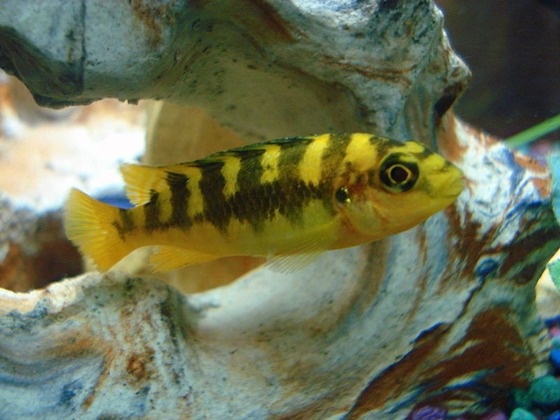 freshwater fish - pseudotropheus crabro - bumblebee cichlid stocking in 46 gallons tank - The little Bumble Bee Cichlid.