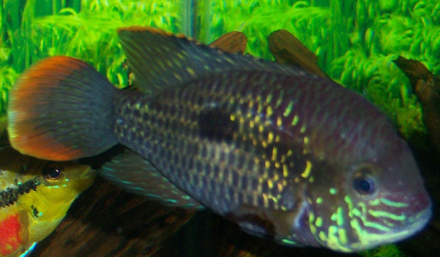 freshwater fish - aequidens rivulatus - green terror stocking in 150 gallons tank - 5 inch Green Terror Cichlid