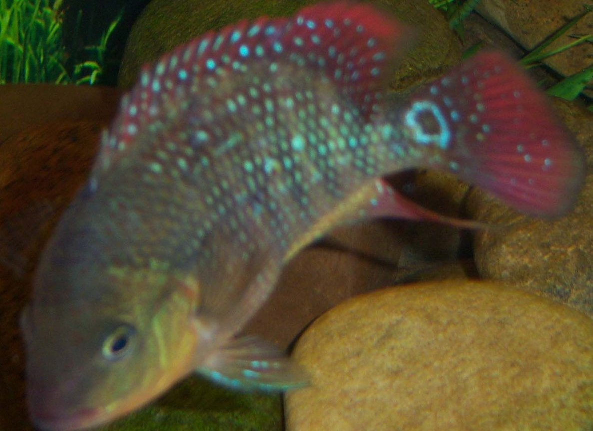 freshwater fish - cichlasoma festae - red terror stocking in 150 gallons tank - 3 inch Juvi Red Terror Cichlid