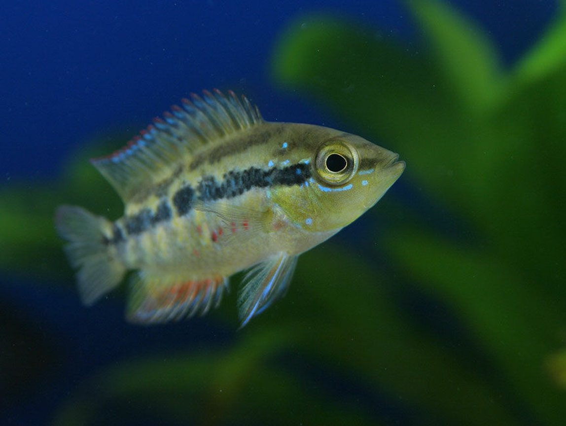 freshwater fish - nandopsis salvini - salvini cichlid stocking in 45 gallons tank - Salvini Cichlid