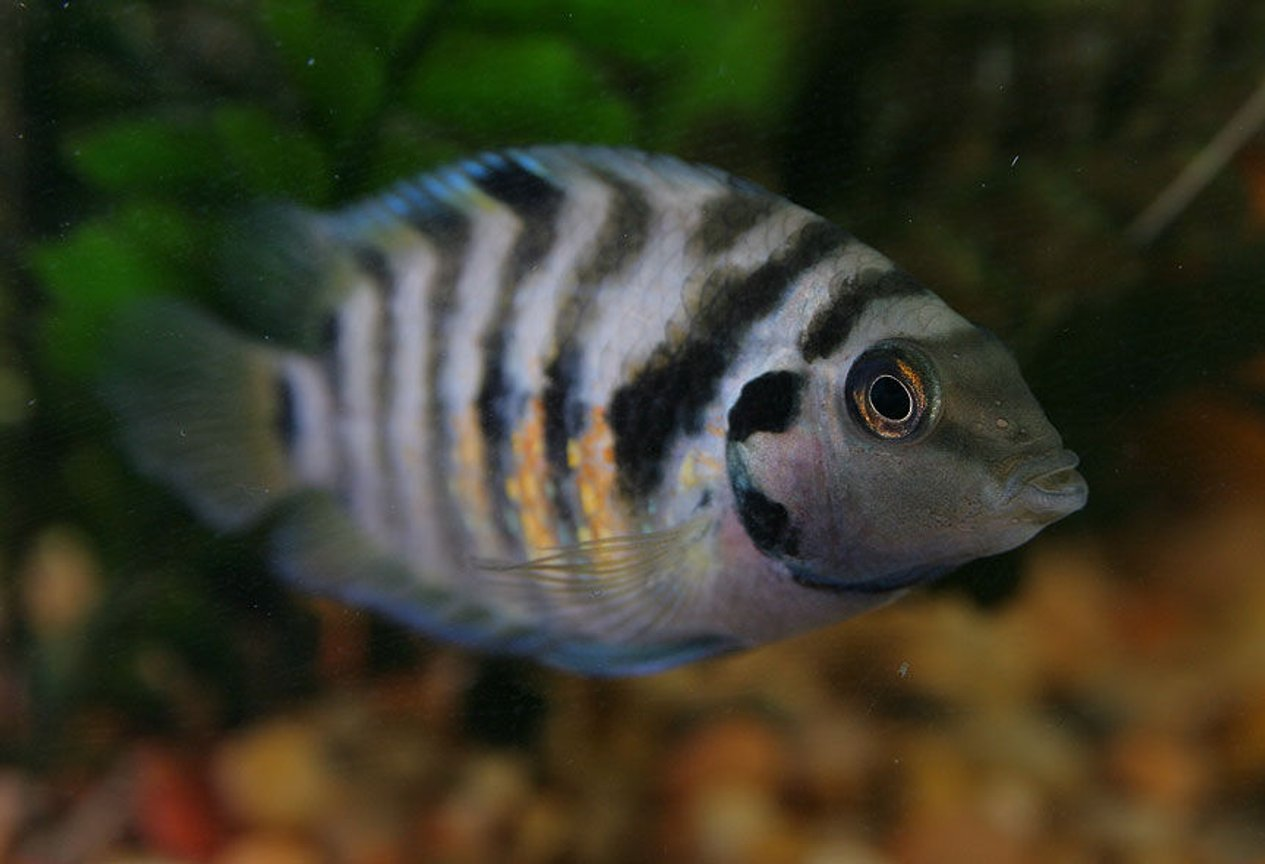 freshwater fish - archocentrus nigrofasciatus - black convict cichlid stocking in 45 gallons tank - Striped Convict