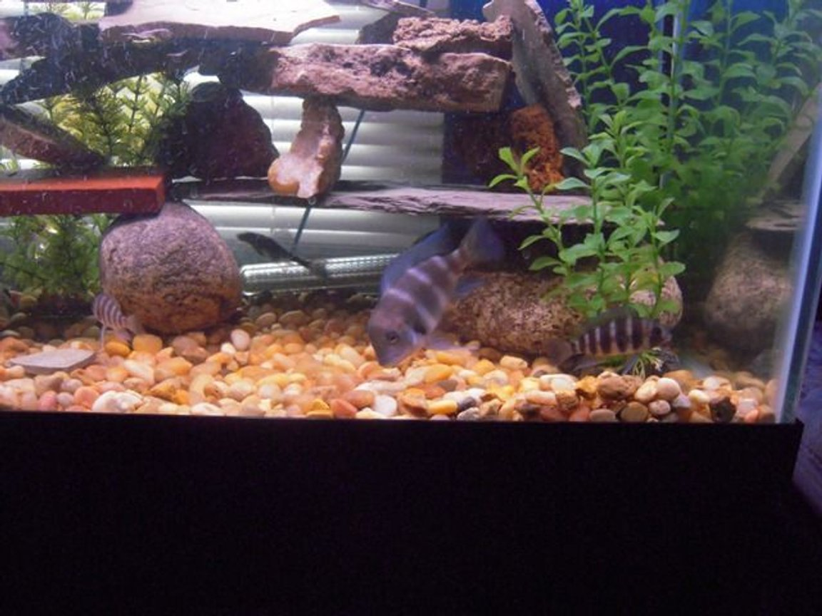 freshwater fish - cyphotilapia frontosa - frontosa cichlid stocking in 125 gallons tank - Three young Frontosas.