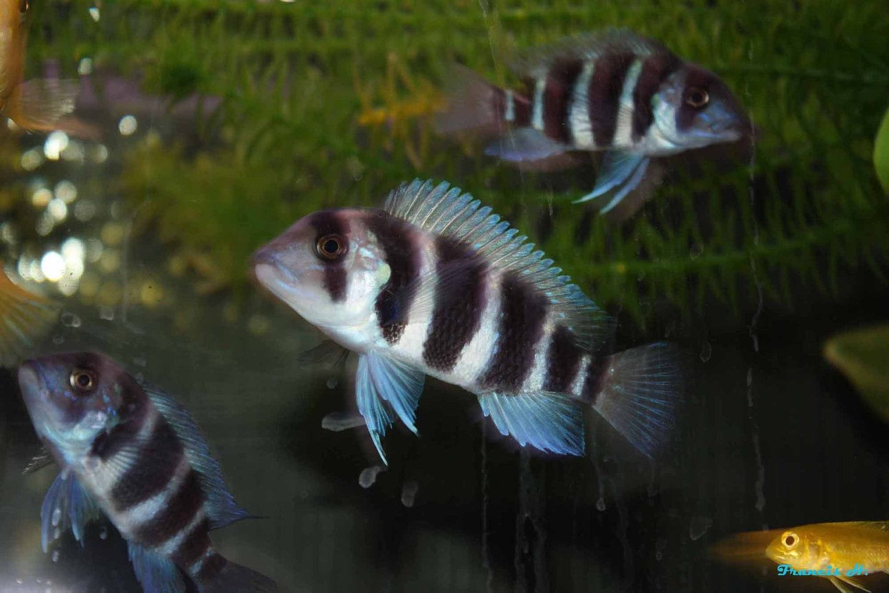 freshwater fish - cyphotilapia frontosa - frontosa cichlid stocking in 55 gallons tank - My dominant frontosa