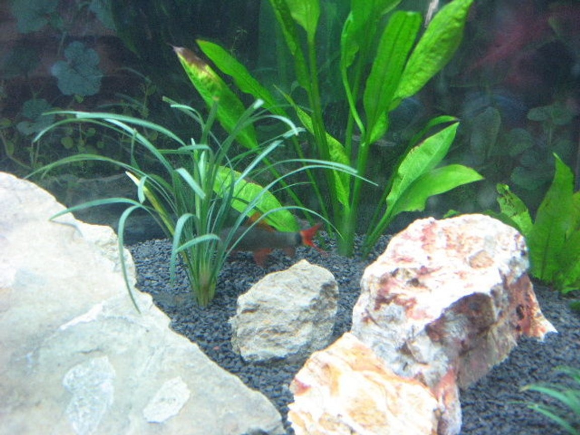 freshwater fish - epalzeorhynchos frenatus - rainbow shark stocking in 40 gallons tank - reno the rainbow shark
