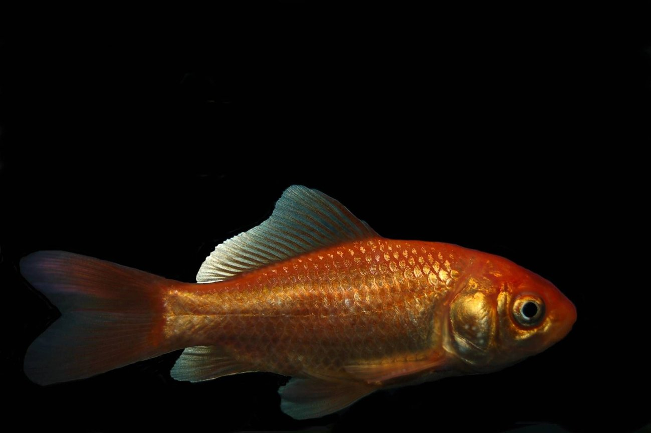 freshwater fish - carassius auratus - goldfish stocking in 29 gallons tank - Common Gold won at a fair