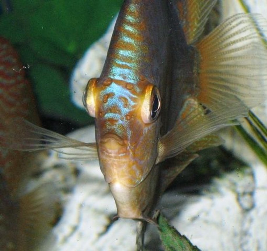 freshwater fish - symphysodon aequifasciata - green discus stocking in 150 gallons tank - Discus