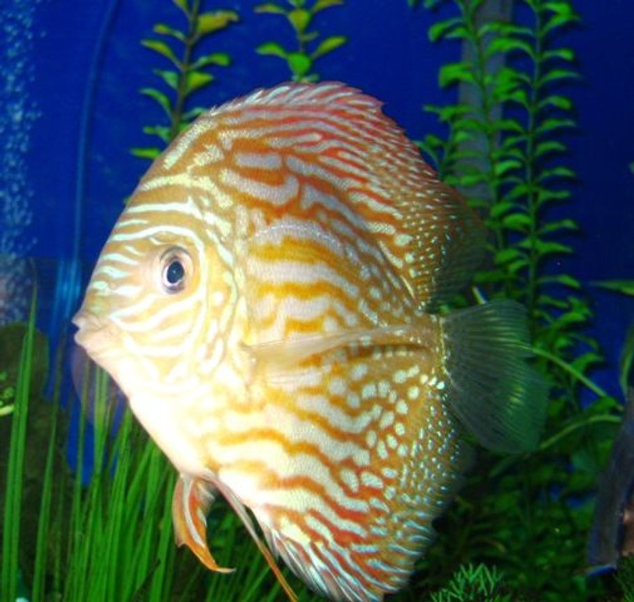 freshwater fish - symphysodon spp. - red turquoise discus stocking in 150 gallons tank - My Big Red Turquoise Discus