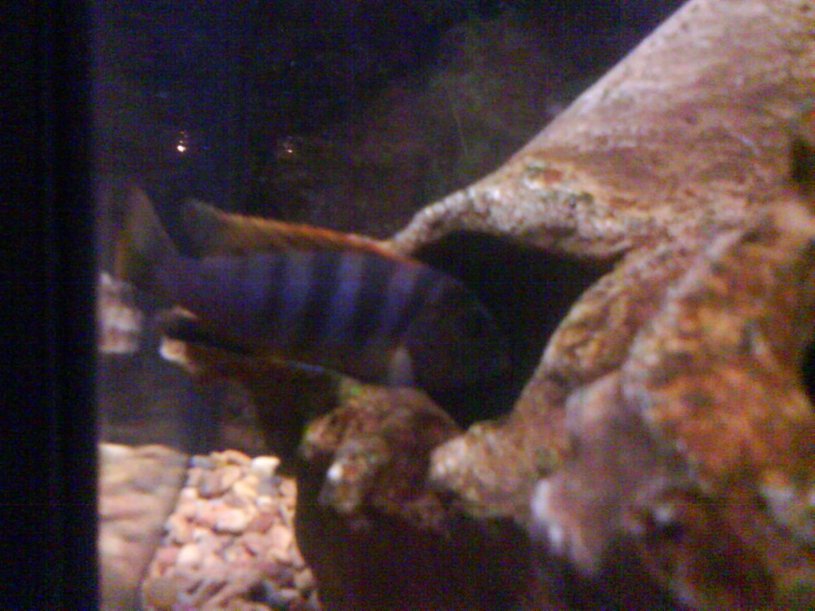 freshwater fish - metriaclima pyrsonotos stocking in 36 gallons tank - this is the first female to have a sucsesful batch
