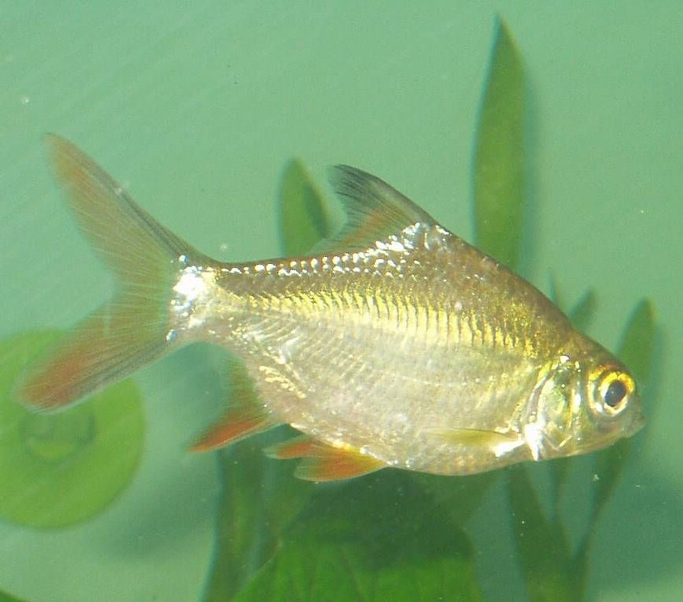 freshwater fish - barbus schwanefeldi - tinfoil red tail barb stocking in 240 gallons tank - one of our school of four tinfoil red tipped barbs