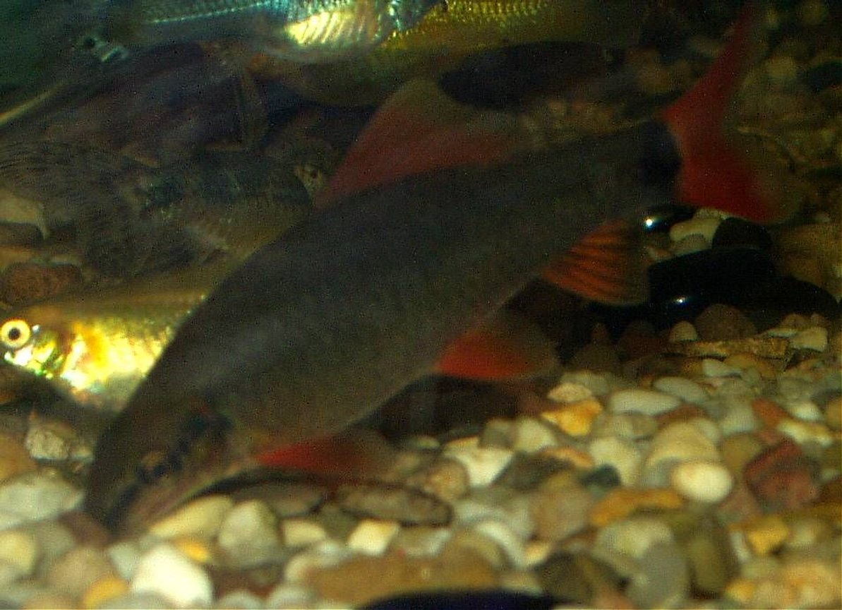 freshwater fish - epalzeorhynchos frenatus - rainbow shark stocking in 240 gallons tank - our rainbow shark approx 3inches