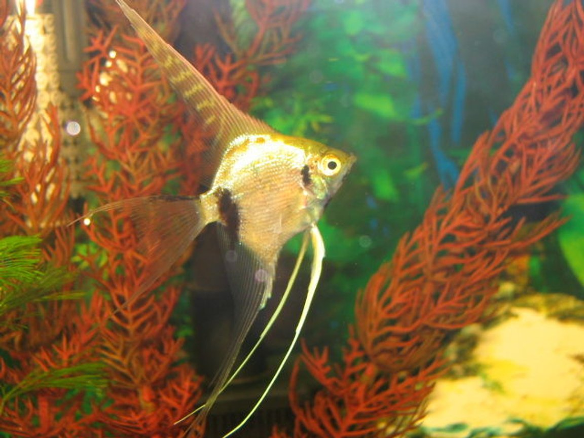 freshwater fish - pterophyllum scalare - marble angel fish stocking in 5 gallons tank - Marbled angle
