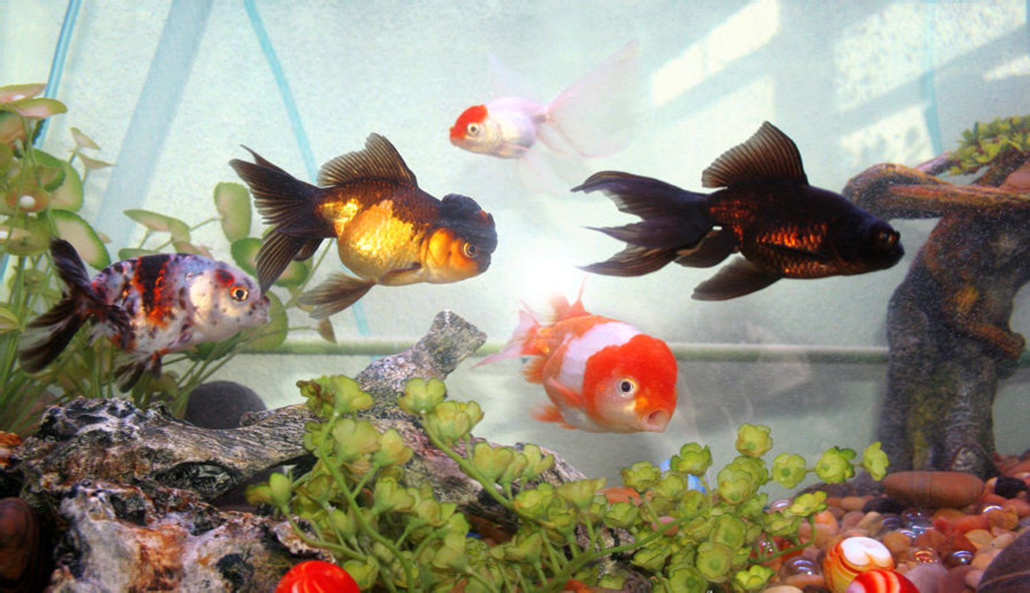 freshwater fish - carassius auratus - chocolate oranda goldfish stocking in 72 gallons tank - fancy goldfish mix