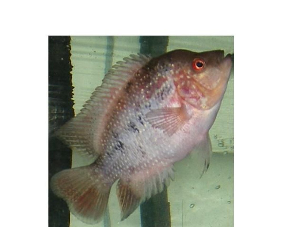 freshwater fish - cichlasoma sp. - flower horn cichlid stocking in 90 gallons tank - 3 MONTH OLD MALE FLOWERHORN