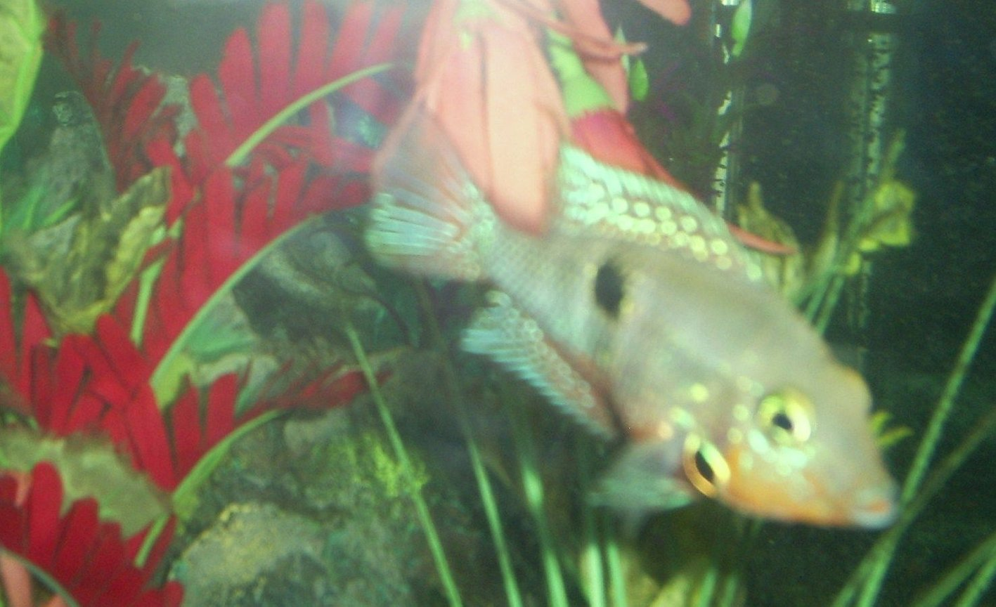 "freshwater fish - thorichthys meeki - firemouth cichlid stocking in 100 gallons tank - firemouth ""my favorite"""