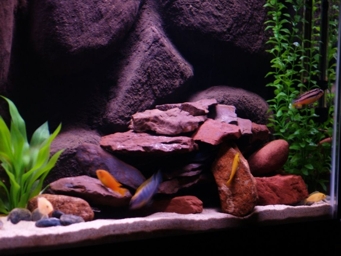 freshwater fish - pseudotropheus estherae - red zebra cichlid stocking in 55 gallons tank - African Cichlids, 55 Gallon