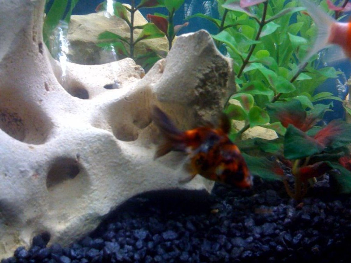 freshwater fish - carassius auratus - fantail goldfish, calico stocking in 30 gallons tank - One of my fish, Fancy Goldfish. He is much bigger now! Will update sometime.
