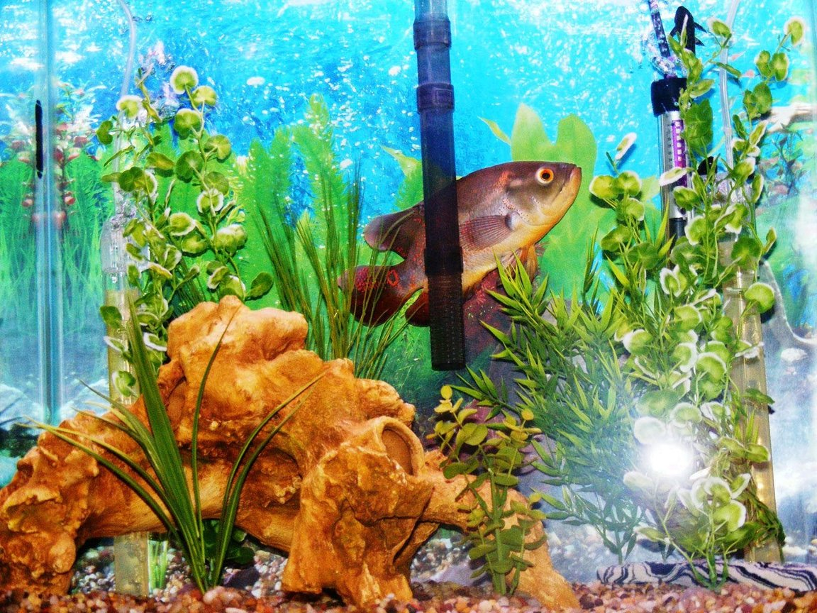 freshwater fish - astronotus ocellatus - tiger oscar stocking in 30 gallons tank - Another view of the tank & fish