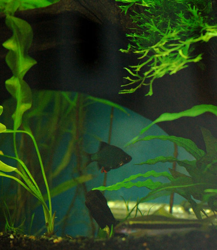 freshwater fish - puntius tetrazona - green tiger barb stocking in 37 gallons tank - The lair
