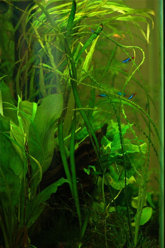 freshwater fish - paracheirodon innesi - neon tetra jumbo stocking in 37 gallons tank - Side view