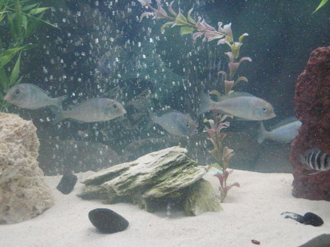 freshwater fish - cyrtocara moorii - blue dolphin cichlid stocking in 55 gallons tank - group photo. C.Moorii