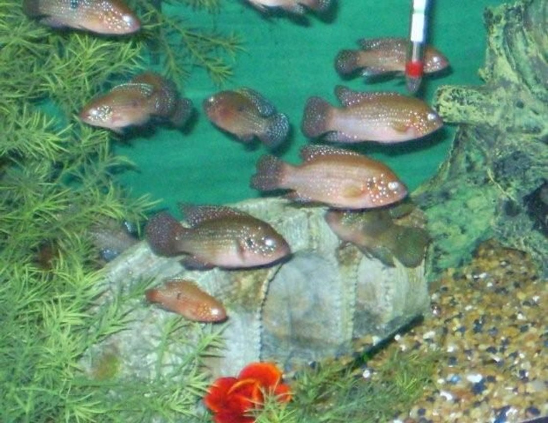 freshwater fish - hemichromis bimaculatus - jewel cichlid stocking in 55 gallons tank - a group of jewel mettalic cidlids